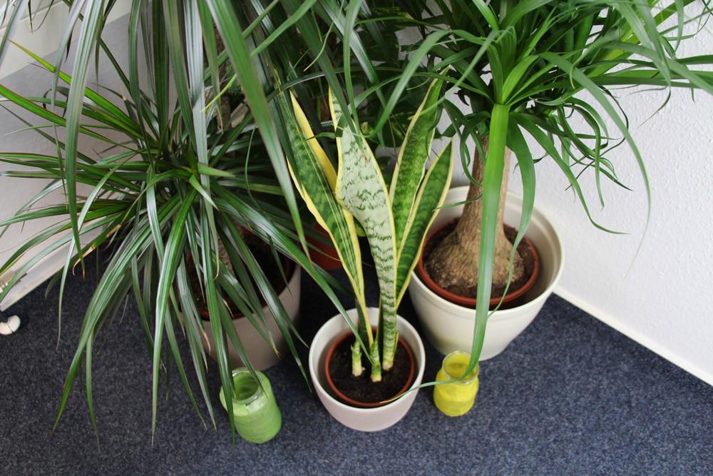 Topfpflanzen mit wenig Wasserbedarf