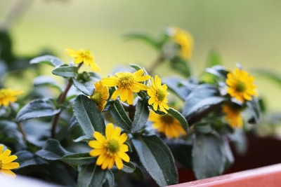 Husarenknopf - Sanvitalia procumbens