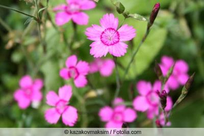Heidenelke - Dianthus deltoides