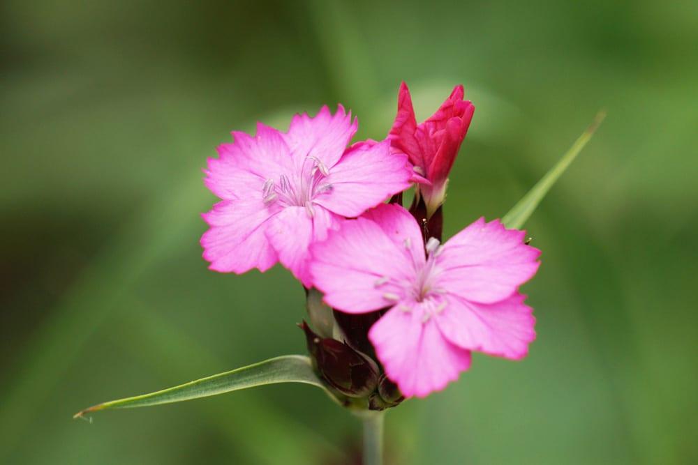 Nelke - Dianthus - winterhart