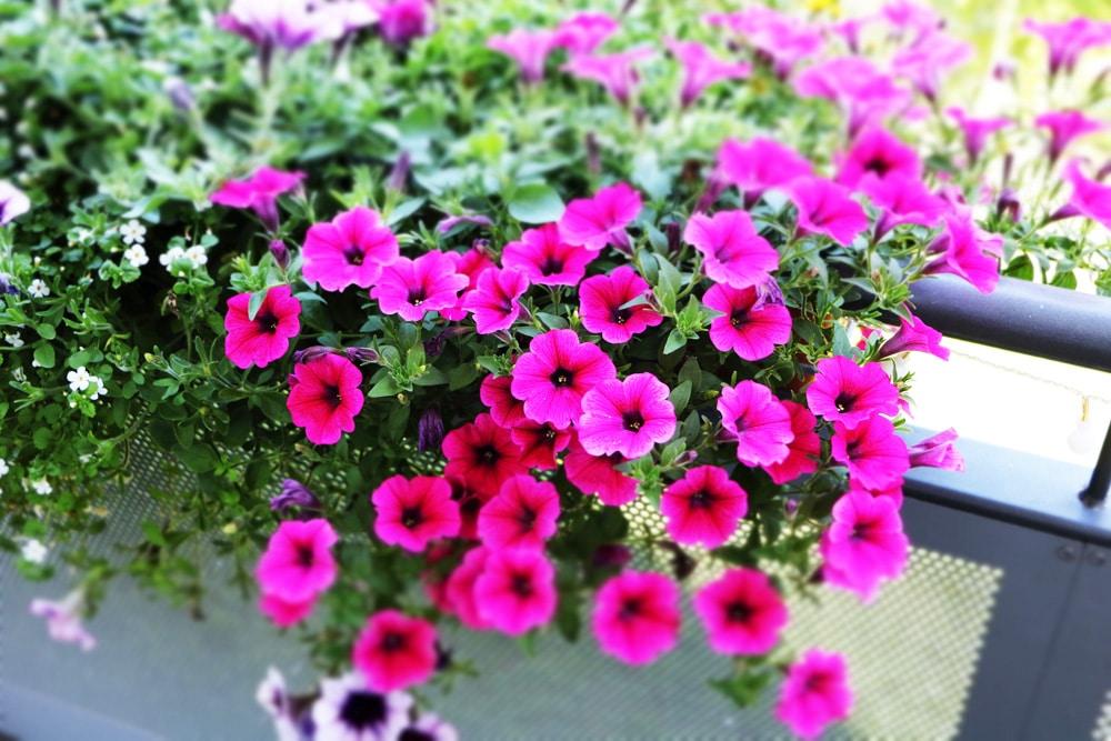Petunie - Petunia - Balkon
