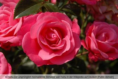 Rose 'Bella rosa'