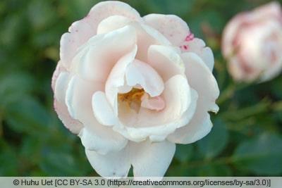 Rose 'Brautzauber'