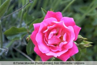 Rose 'Heidetraum'