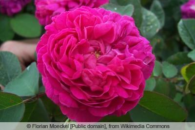 Rose 'Rose de Resht'