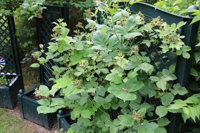 Brombeere - Rubus fructicosus