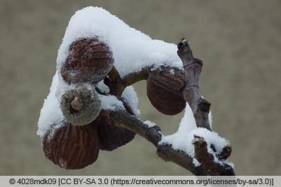 Reife Feigen im Schnee