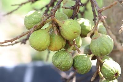 Feigenbaum - Ficus carica