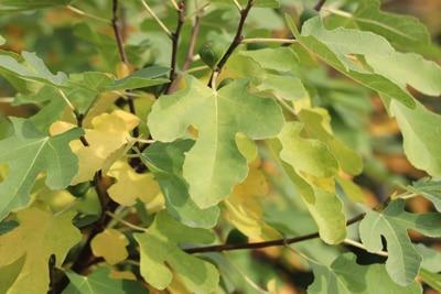 Feigenbaum im Herbst