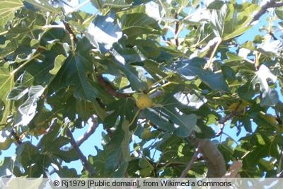 Feigenbaum - Ficus carica 'Daltmatie'