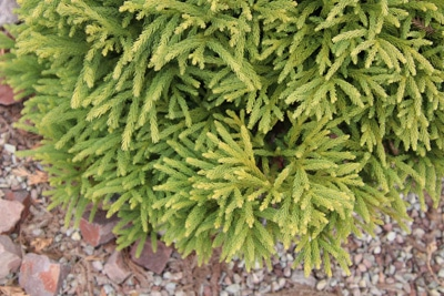 Japanische Sicheltanne - Cryptomeria japonica 'Globosa nana'