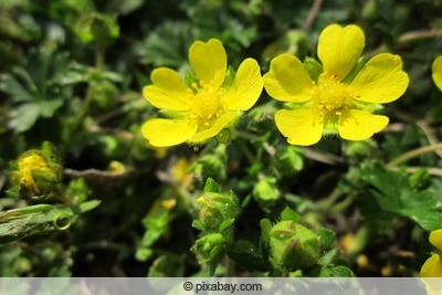 Frühlings-Fingerkraut - Potentilla neumanniana