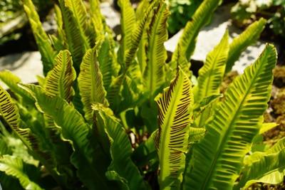 Hirschzungenfarn - Asplenium scolopendrium
