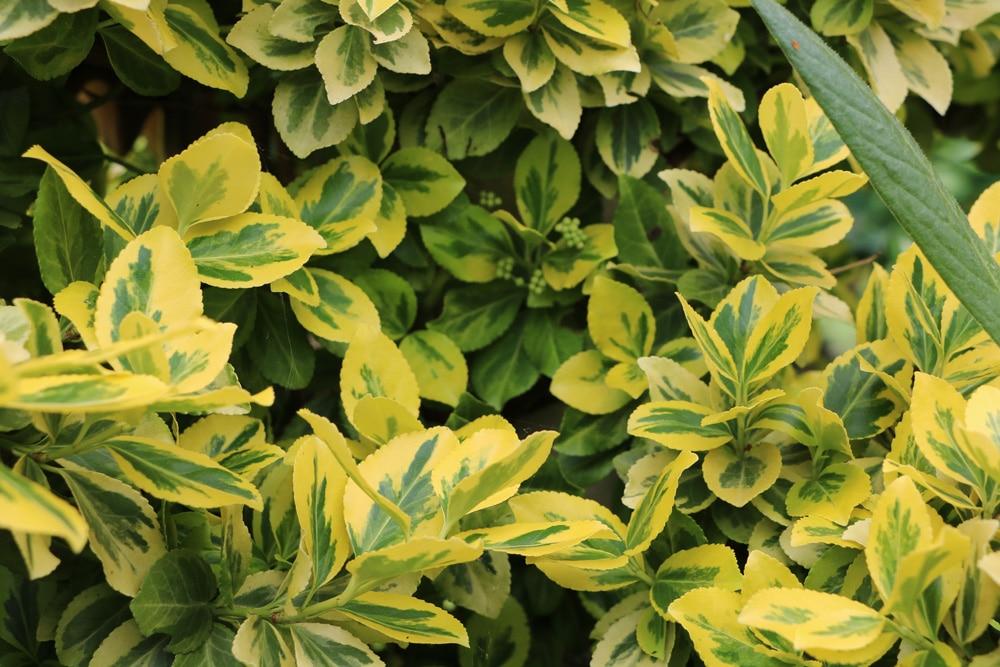 Kriechspindel - Euonymus fortunei