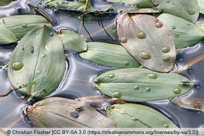 Schwimmendes Laichkraut - Potamogeton natans