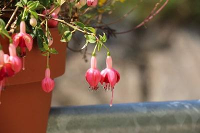 Fuchsie - Fuchsia - Hängepflanze