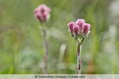 Gewöhnliches Katzenpfötchen - Antennaria dioica