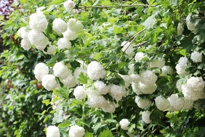Gewöhnlicher Schneeball - Viburnum opulus 'Roseum'