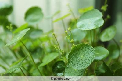 Wassernabel - Hydrocotyle vulgaris