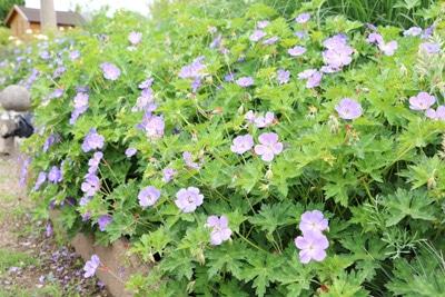 Wiesen-Storchschnabel - Geranium pratense