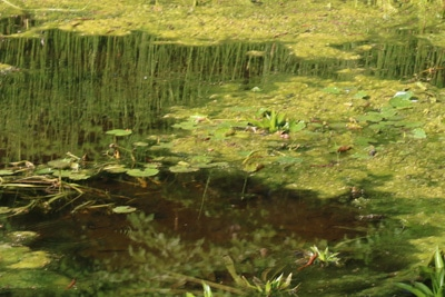 Algenbildung auf Teich