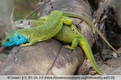 Östliche Smaragdeidechse - Lacerta viridis