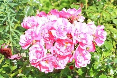 Rosen in der Sonne