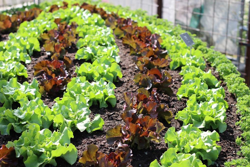 Pflücksalat - Lactuca sativa var crispa