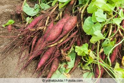 Süßkartoffel Ernten
