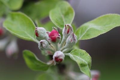 Podosphaera leucotricha - Mehötau am Zwergapfelbaum