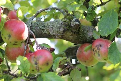 Apfelschorf - Venturia inaequalis
