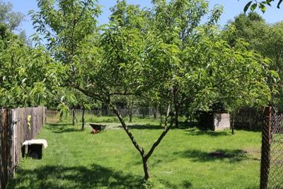 Pfirsichbaum im Garten