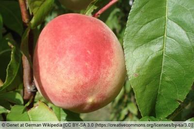 Pfirsich - Roter Ellerstädter