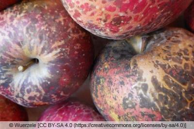 Rußfleckenkrankheit an Äpfeln