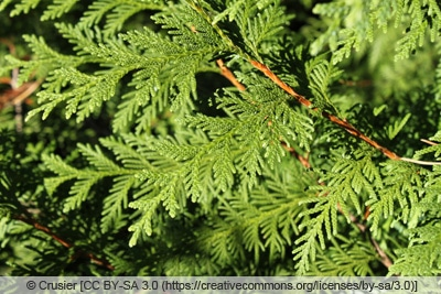 Koreanischer Lebensbaum - Thuja koraiensis