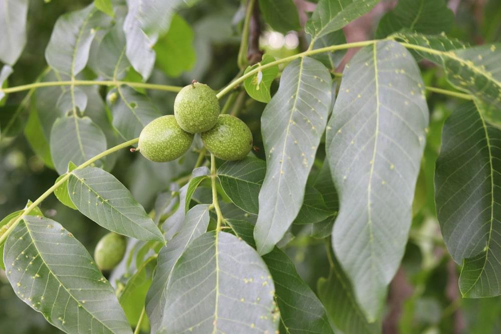 Walnussbaum krank