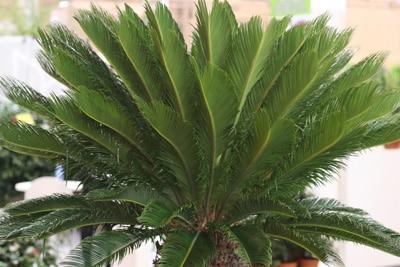 Cycas revoluta-Palme, Schattenpflanzen