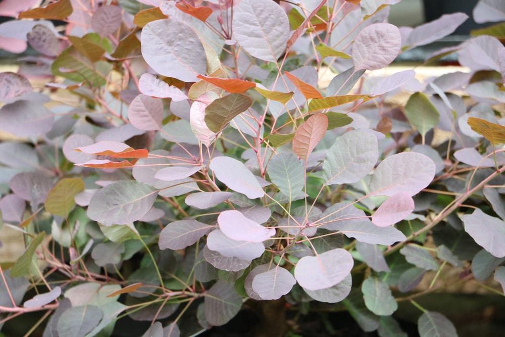 Perückenstrauch - Cotinus coggygria