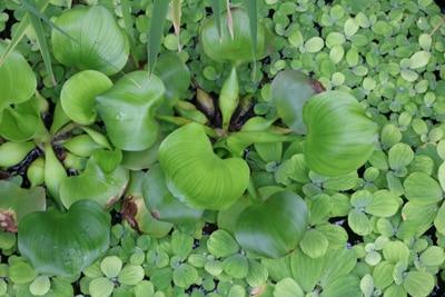 Wasserhyanzinthe - Eichhornia