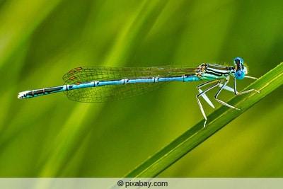 Blaue Federlibelle - Platycnemis pennipes