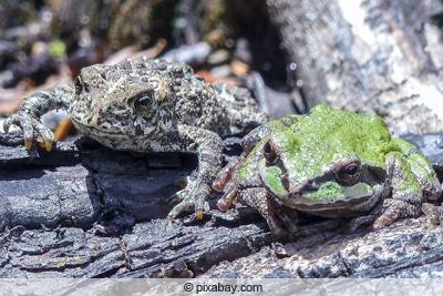 Kröte und Frosch