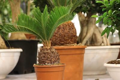 Cycas revoluta-Palme