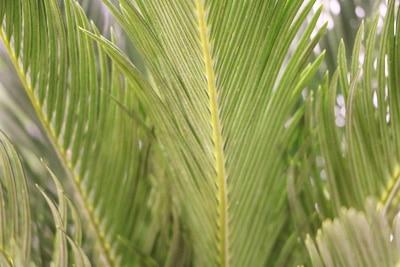 Zimmerpalmen - Palmfarn - Cycas revoluta