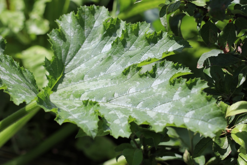 Zucchiniblatt mit weißen Flecken