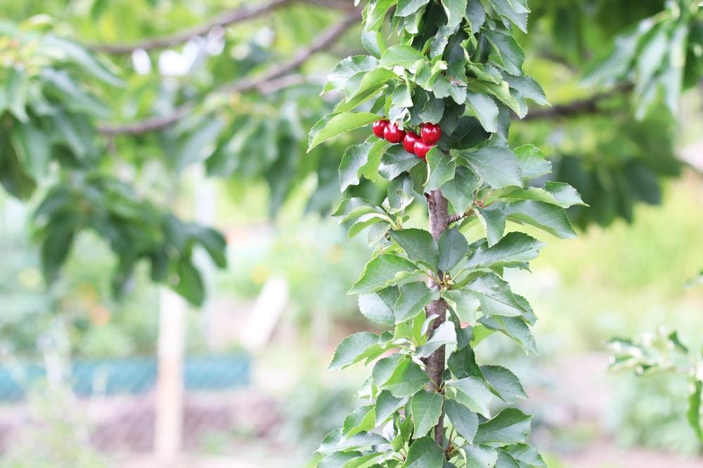 Kirschbaumsäule