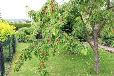 Vogelkirsche - Prunus avium