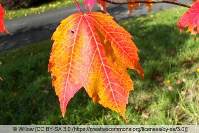 Rotahorn - Acer rubrum