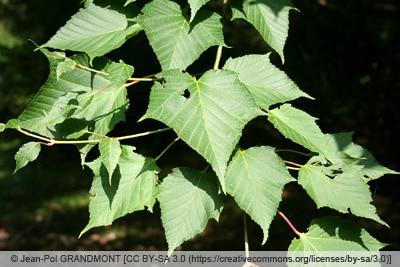 Roter Schlangenhaut-Ahorn - Acer capillipes
