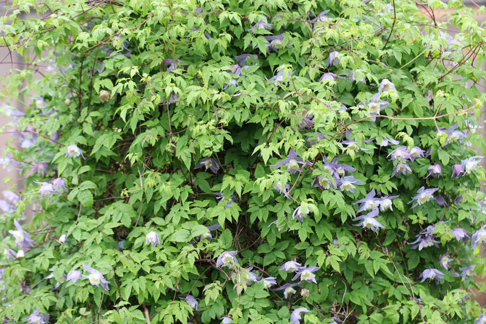 Clematis alpina - Alpen-Waldrebe 'Blue Princess'
