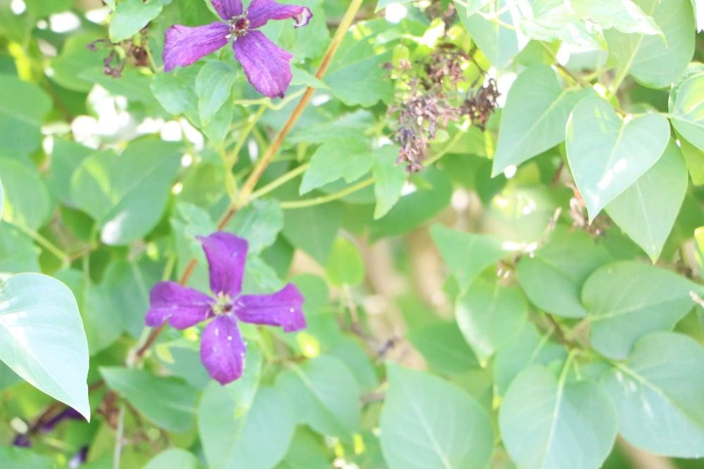 Verblühte Clematisblüte